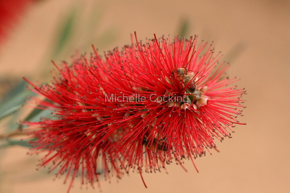 Bottlebrush by Michelle Cocking