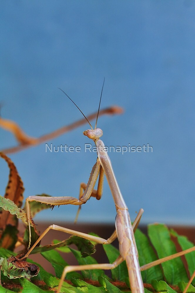 Praying Mantis  by Nuttee Ratanapiseth