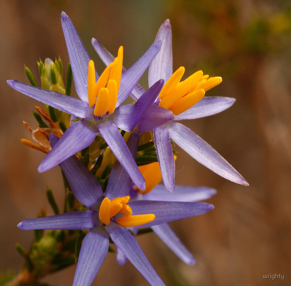 Blue tinsel lilly by wrighty