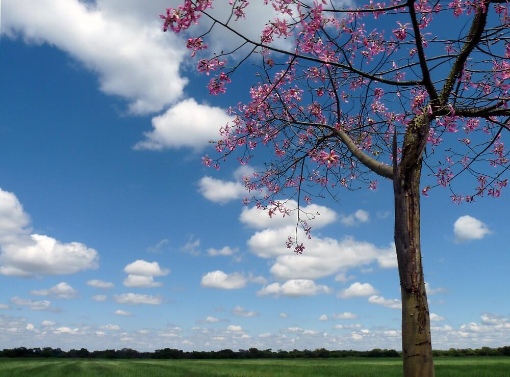 Kapok Tree in flower- South Africa by nikivandersmagt