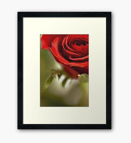 Open Rose Framed Print