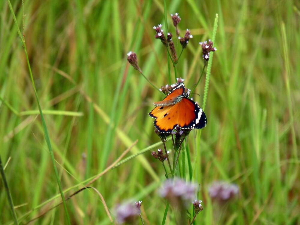 butterfly- imbambala South Africa by nikivandersmagt
