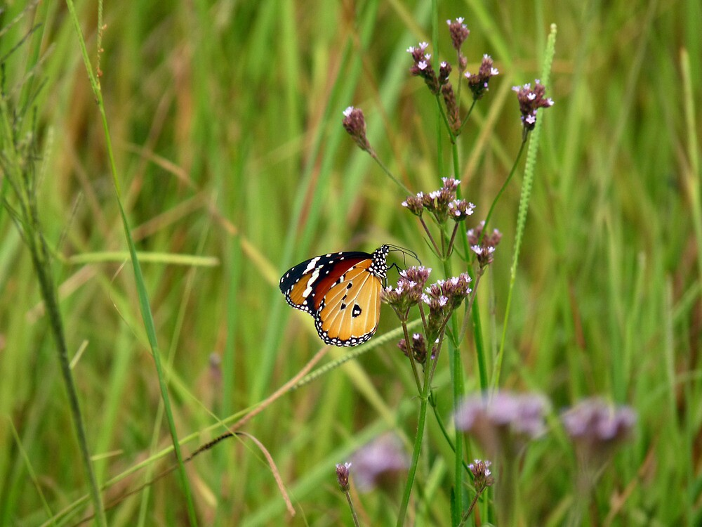 Butterfly- imbambala, South Africa by nikivandersmagt