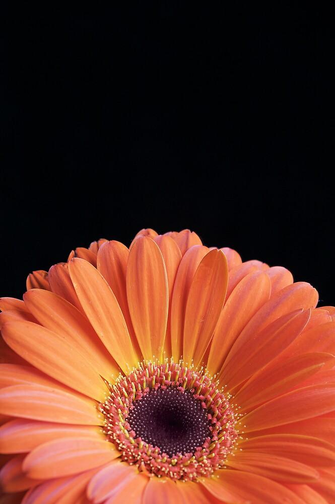 Orange Gerbera by Sarah-Jane Covey