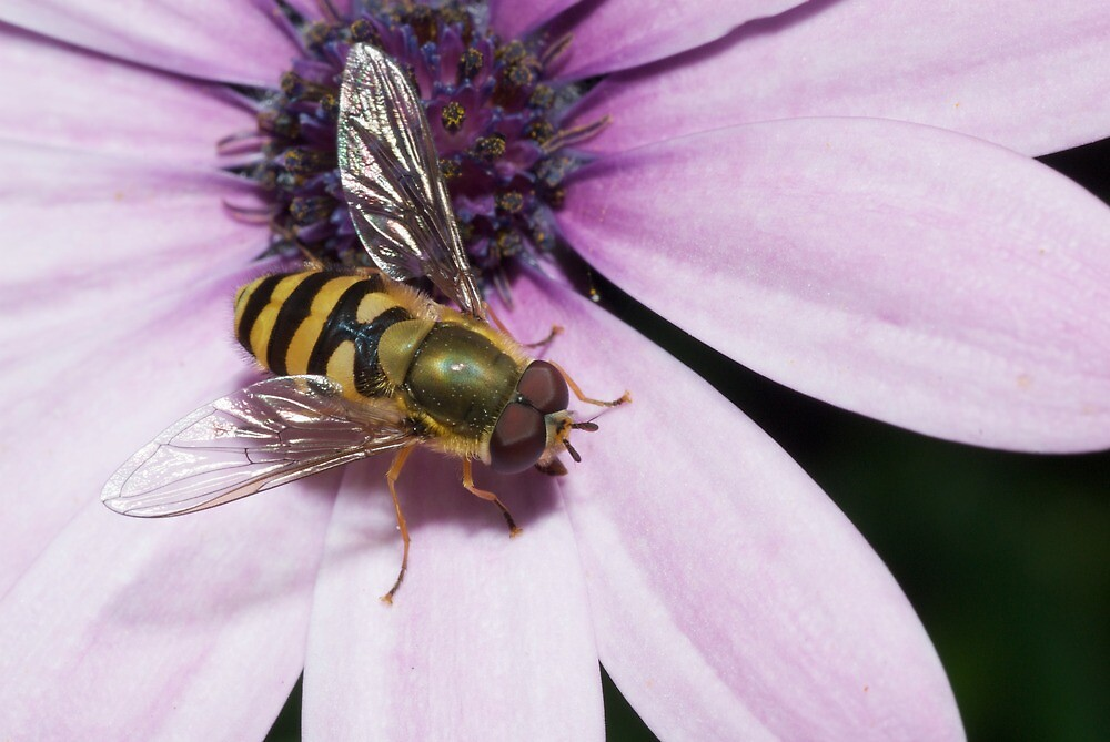 Hoverfly Resting on Flower by Jonathan Hughes
