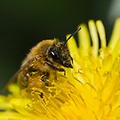 Bee Covered in Pollen by Jonathan Hughes