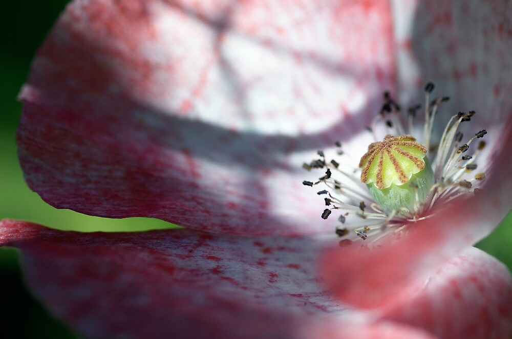 The Finer Details of a Poppy by Jonathan Hughes