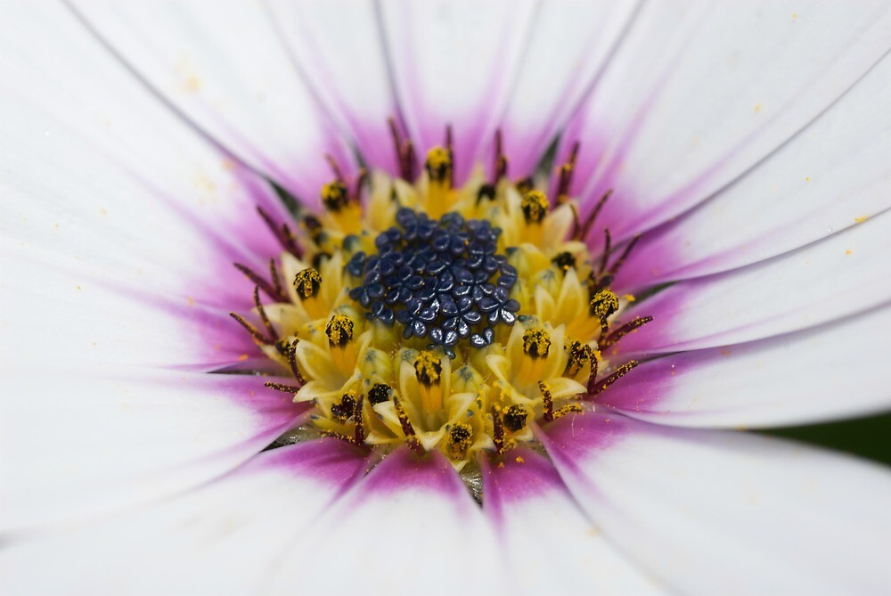 Osteospermum Number Two by Jonathan Hughes