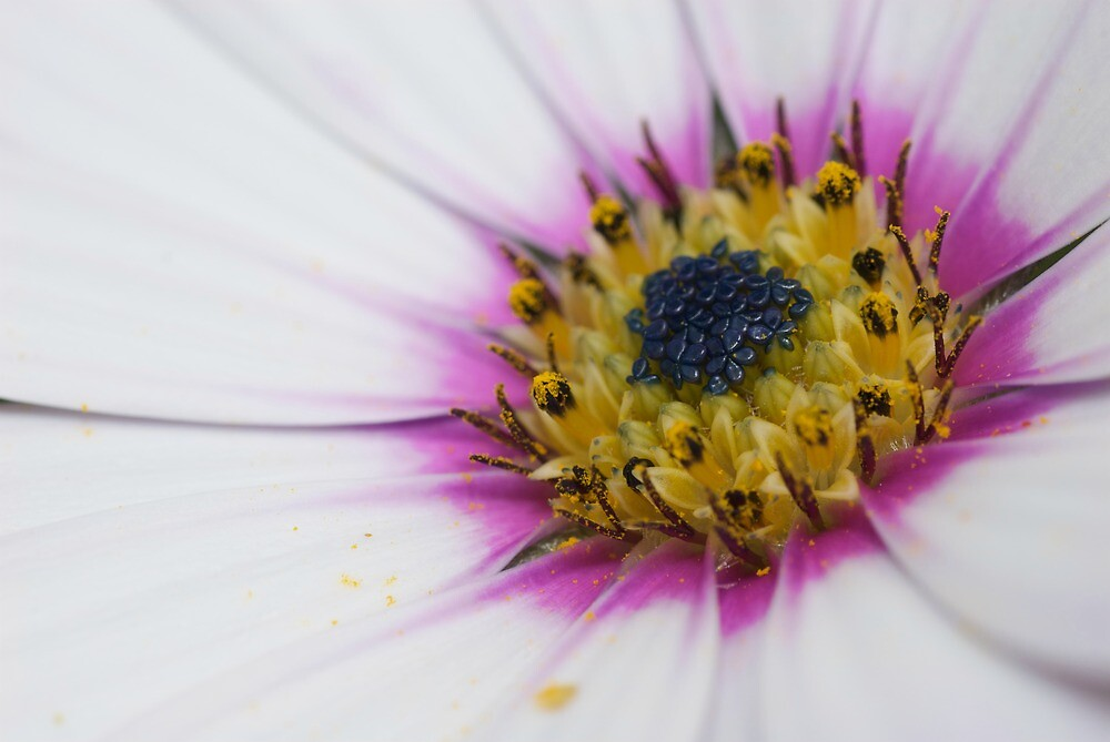 Osteospermum Number Three by Jonathan Hughes