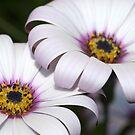 Twins (Osteospermums) by Jonathan Hughes