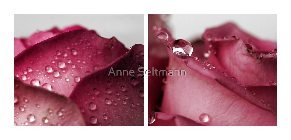 a rose is a rose is a rose by Anne Seltmann