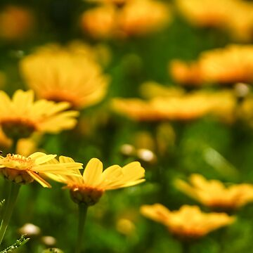 A field of vibrant yellow and orange Daisies  by PhotoStock-Isra