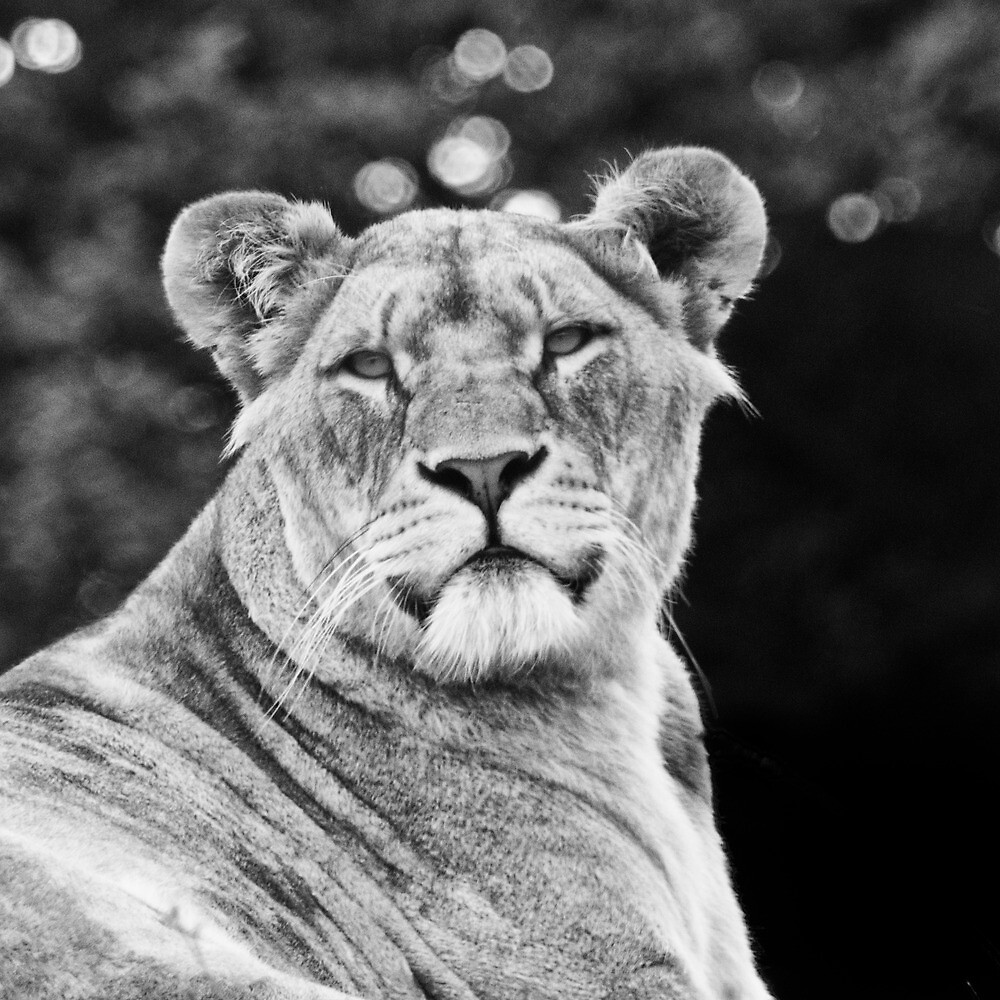 Lioness I by Mabs