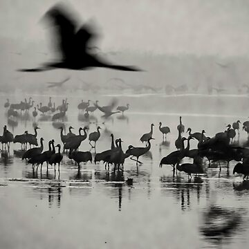 a large flock of Common crane (Grus grus) Silhouetted at dawn. Photographed in the Hula Valley, Israel, in January by PhotoStock-Isra