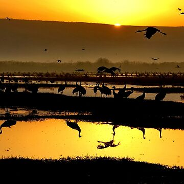 Common crane (Grus grus) Silhouetted at dawn. Photographed in the Hula Valley, Israel, in January by PhotoStock-Isra