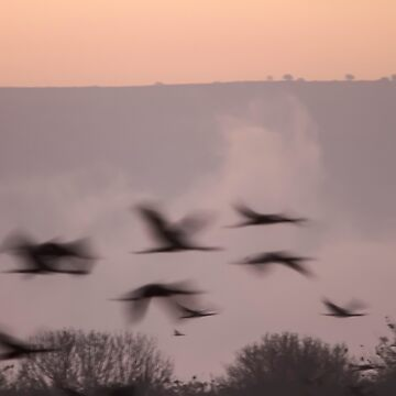 Common crane (Grus grus) on a misty morning. Photographed in the Hula Valley, Israel, in January by PhotoStock-Isra