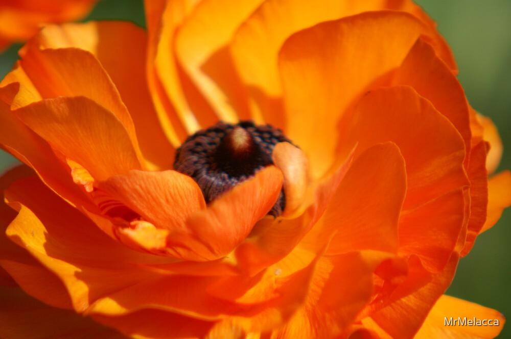 Red Poppy  by MrMelacca