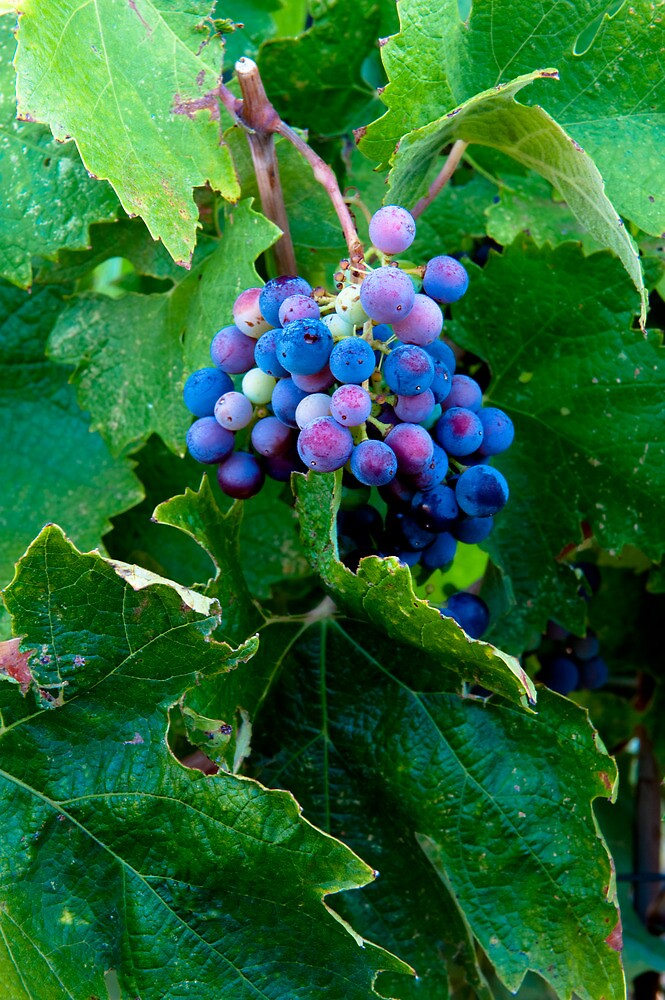 Grapes and Leaves, Sonoma Wine Country by Cathy P. Austin