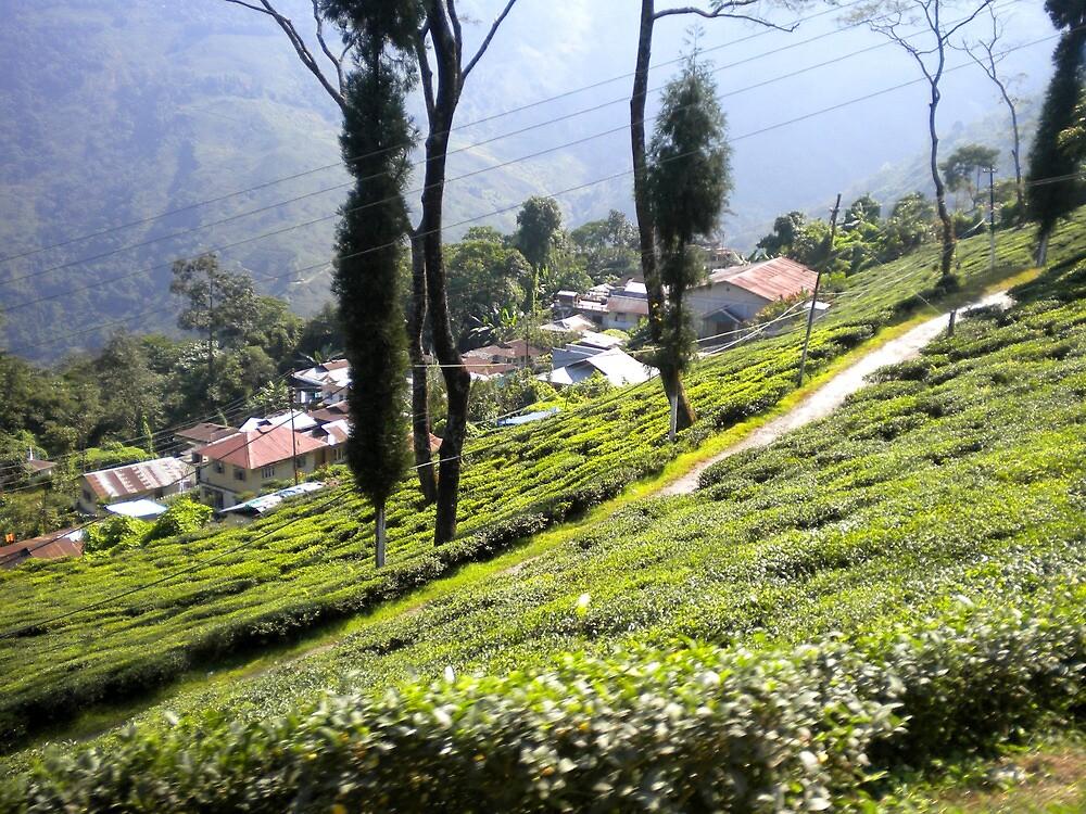 tea garden by samudra
