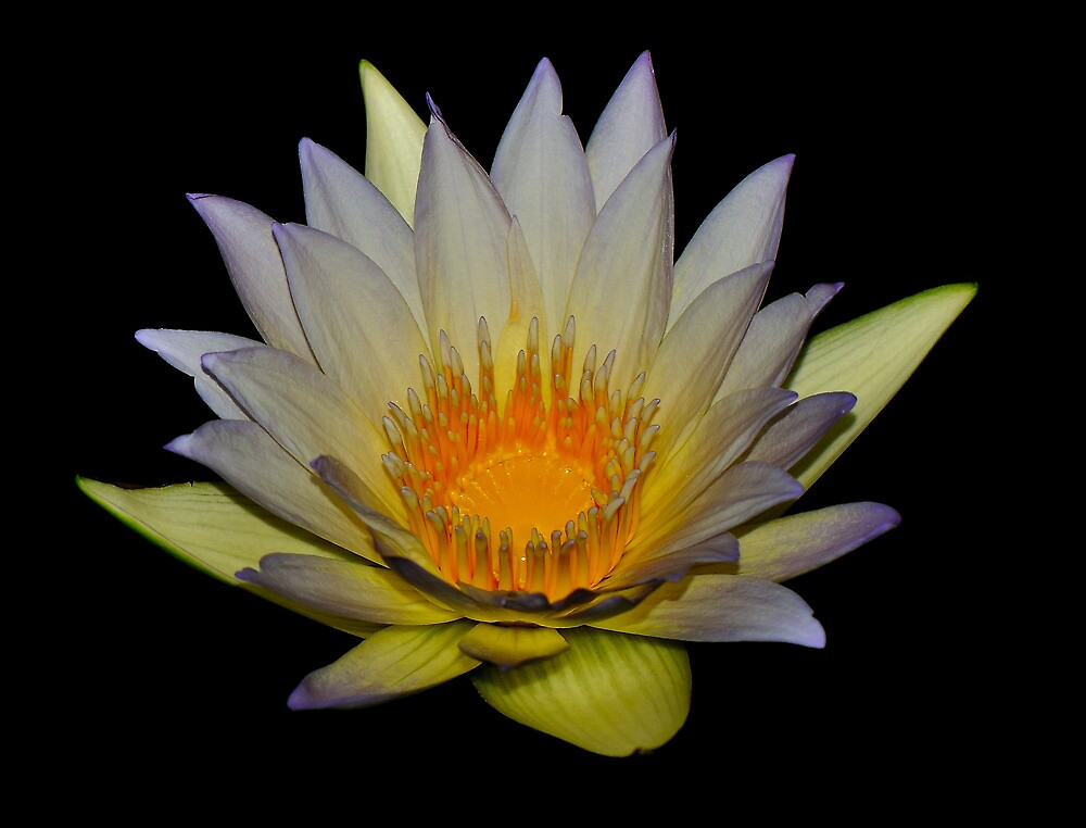 Water Lily by Durotriges