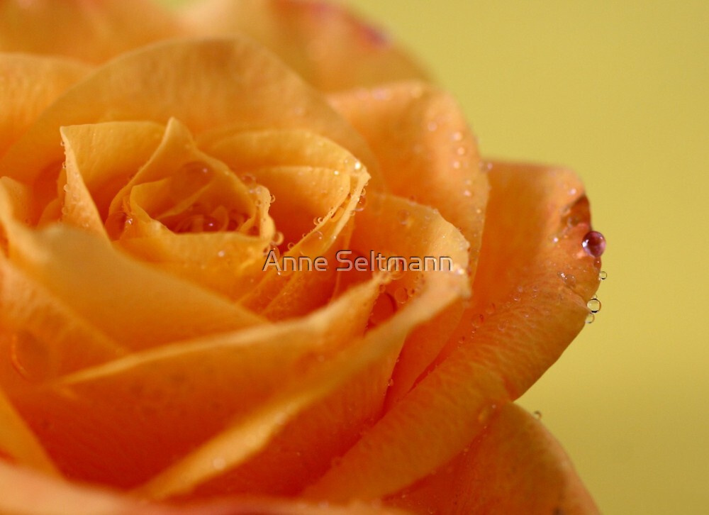 rose by Anne Seltmann