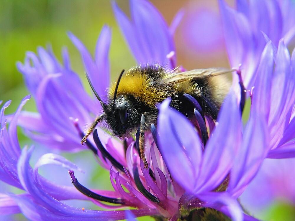 Bee on Cornflower by Jonathan Hughes