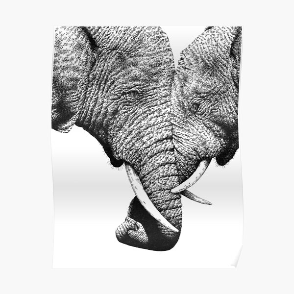 African Elephants with trunks entwined Poster