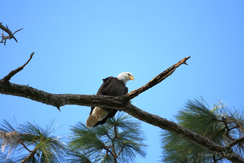Bald Eagle by Howard S Taylor