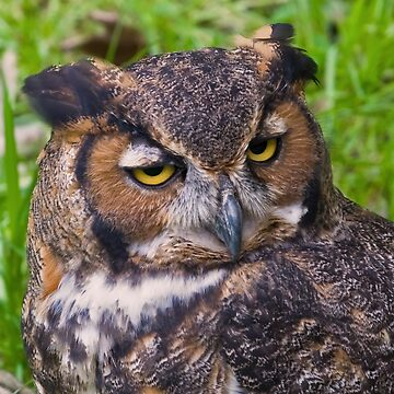 Great Horned Owl by DeloresKnowles