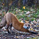 STOCK-Downward Fox by Jay Ryser
