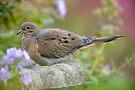 Mourning Dove On Bird Bath by Michael Cummings