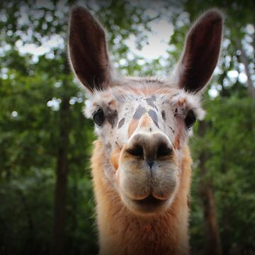 Speckled Face Llama by Cynthia48