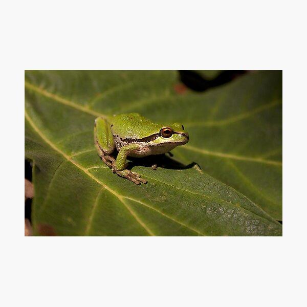 Pacific Treefrog Photographic Print