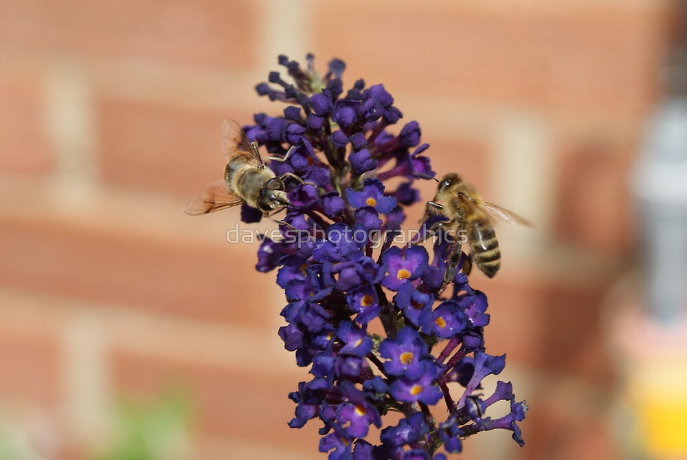 Bee 1 by davesphotographics