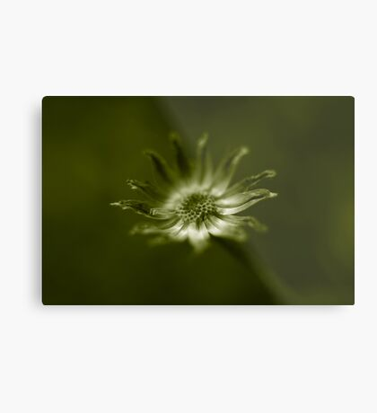 end of daisy days Metal Print