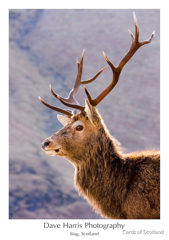 Stag, Scotland by Cards of Scotland