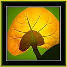 Beach Grape Leaf by glink