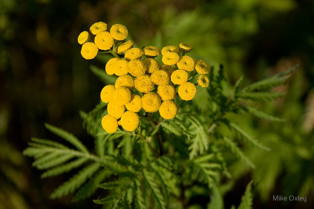 Common Tansy (Tanacetum vulgare) by Mike Oxley