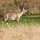 Female Deer by Karl R. Martin