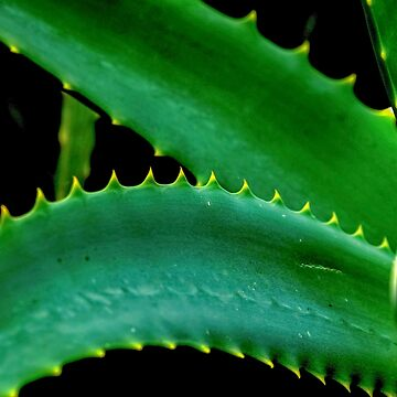 Leafs of the Aloe vera plant.  by PhotoStock-Isra