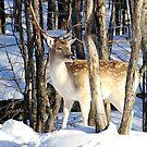 Fallow Deer Exploring by vette
