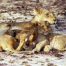 Lioness and Cubs by Michael  Moss