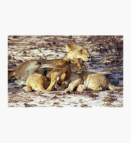 Lioness and Cubs Photographic Print