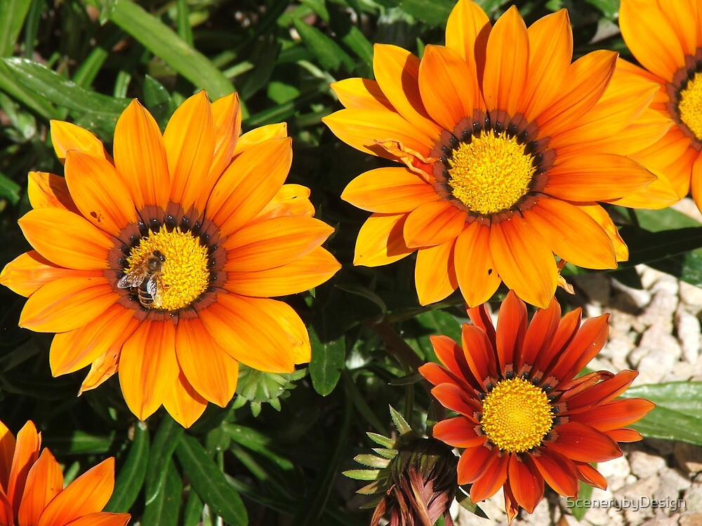 Daisies (3075) by ScenerybyDesign
