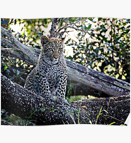 Bue Eyed Leopard Cub Poster