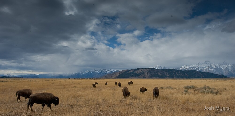 Bison by Josh Myers