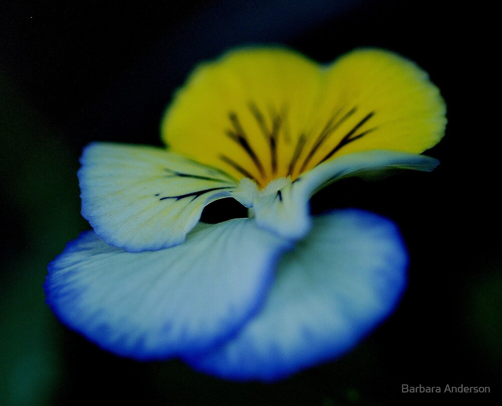 Pansy by Barbara Anderson