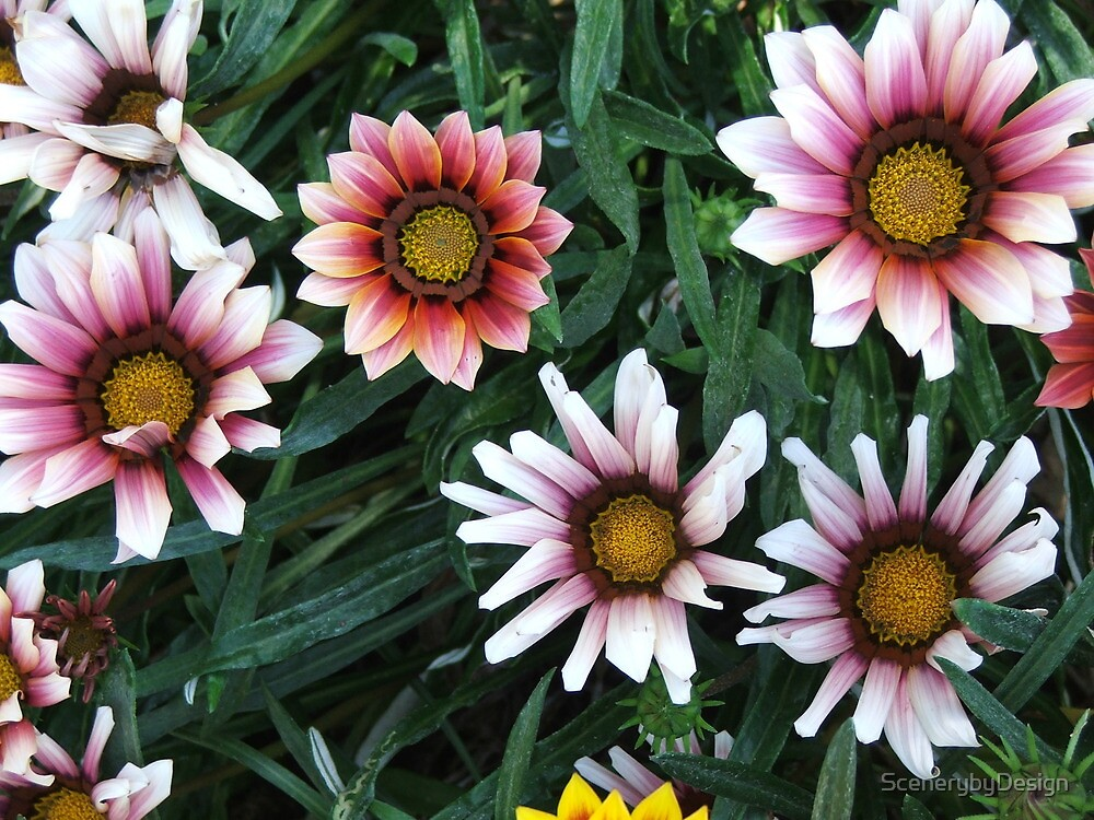 Daisies (3082) by ScenerybyDesign
