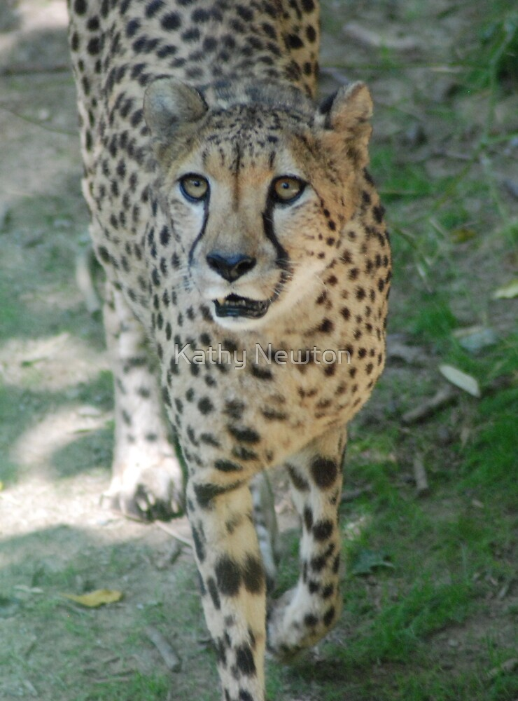 Cheetah Prowl by Kathy Newton