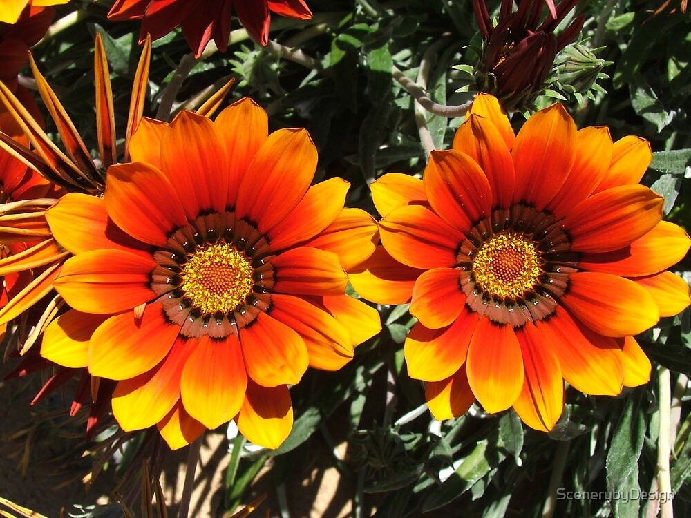 Daisies (3089) by ScenerybyDesign